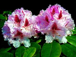 diaporama pps Pink rhododendron