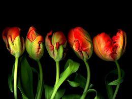 diaporama pps Red tulip