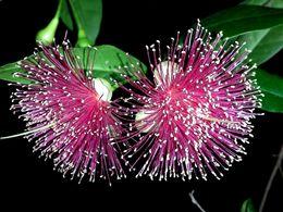 diaporama pps Syzygium
