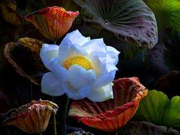 diaporama pps Vietnamese lotus