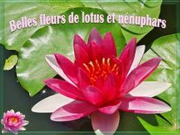 Belles fleurs de lotus et nénuphars