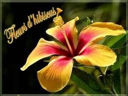 Diaporama Fleurs d'hibiscus