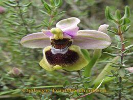 Les ophrys: Orchidées sauvages