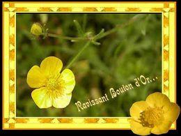 Ravissant bouton d'or