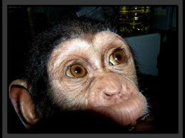 diaporama pps Bébé chimpanzé adopte par une chienne