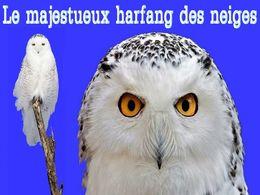 diaporama pps Le majestueux Harfang des neiges