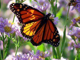Butterflies - Papillons