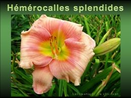PPS Fleurs: Hémérocalles splendides