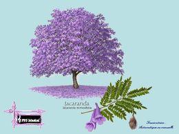 PPS sur Le jacaranda l'arbre romantique