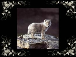 Les loups sauvages