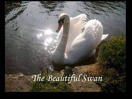 The beautiful swan