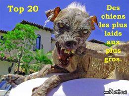Top 20 des chiens les plus laids aux plus gros